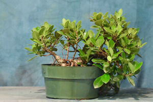 Great GREEN ISLAND FICUS Pre-Bonsai Tree with Aerial Roots! Hardy Tropical!