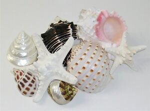 Large Beautiful Seashells ♡ Shell Starfish Lot of 8 Coastal Beach Decor ♡