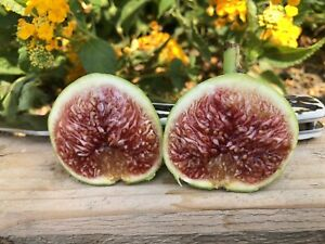 Fig Tree cuttings White Adriatic FREE US SHIPPING