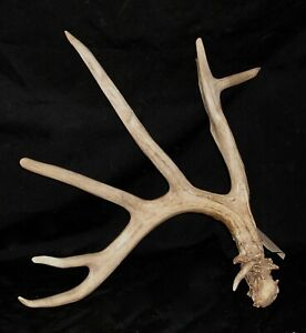 GIANT 86.7 inch whitetail deer antlers taxidermy horns shed cabin WILD