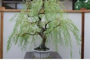 2 Weeping Willow Tree Cutting for bonsi Thick Trunk Cuttting