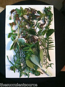Mystery Succulent Cutting Lot  |  10 Awesome Varieties of Succulent Cuttings