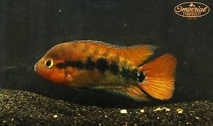 Red Rainbow Cichlid (Herotilapia multispinosa) Live Tropical Fish American