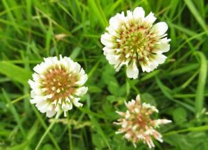 WHITE DUTCH CLOVER SEED  FOR LAWNS & GROUND COVER 10,000 SEEDS