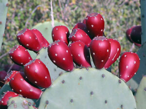 2 Winter Resistant Prickly Pear Opuntia Cactus Hardy & EASY To GROW - Ships FREE