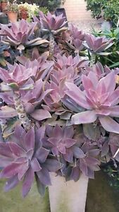 Echeveria Species Japanese Hybrid Large 6 to 8 Inches Cutting For 7 Dollars