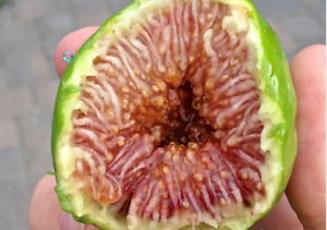 Desert King Fig 6 Fresh Cuttings Extras amp; Propagation Guide $11.97
