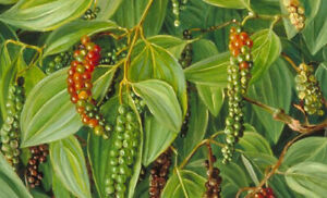 Piper nigrum | Black Pepper Corn | 10_Seeds