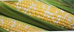 Sweet G-90 Bi-Color Hybrid Sweet Corn Garden Seed  Treated (Benefits St.Jude)