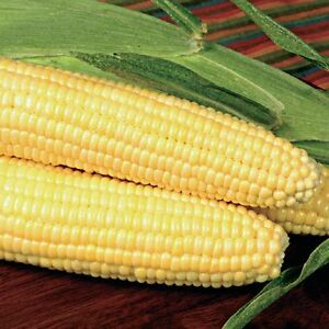 Bodacious  Sugar Enhanced Yellow Sweet Corn Seed Treated  NOn GMO