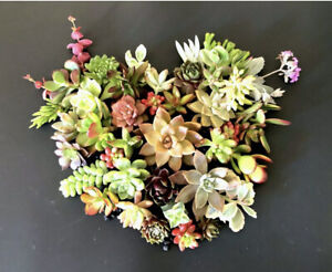 20 + 2  Beautiful, Colorful & Healthy Succulent Cuttings! 25 Varieties FREE SHIP