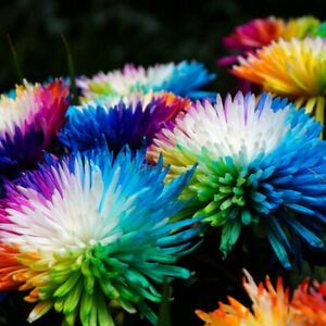 500Pcs Rare Rainbow Chrysanthemum Flower Seeds Garden Bonsai Plant Decoration