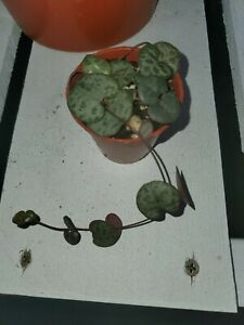 CEROPEGIA WOODII - STRING OF HEARTS - ROSARY VINE - 1 BULB WITH LONG STEM (S)