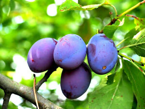 5pc DAMSON PURPLE PLUM Tree Unrooted Organic Cuttings for Rooting Grafting Fruit
