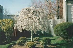 Weeping Cherry Tree 2 plants