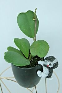Sweetheart Hoya Heart (Live Plant) A Gift Of Love & Friendship In 4