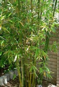 5 Live Bamboo Plant Rhizome Cuttings!! Easy To Grow! Privacy Fence!