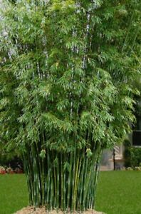 **SALE** Live Bamboo Plant! Clumping- Noninvasive Variety! EASY TO GROW!!!!
