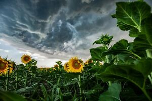 Country Wall Decor Art Print of Sunflowers Under Storm Clouds in Kansas $12.00