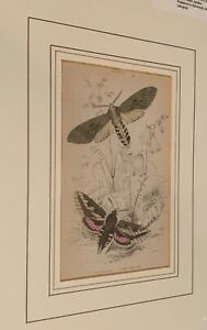 Set of Two Vintage lithographs of Moths Circa 1836 $50.00