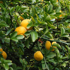 Flying Dragon: Cold Hardy Citrus Lemon tree 3 seedlings