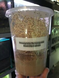 """FLIGHTLESS FRUIT FLY CULTURE Melanogaster 32oz ""FREE SHIPPING "" $17.50"