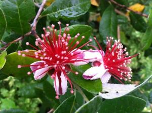 4 Fresh Pineapple Guava Tree Cuttings for Planting . FFREE GIFT $12.99