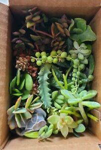 25 Varieties of Assorted Succulent Plant Cuttings $16.99
