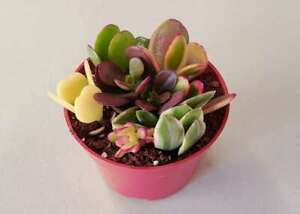 Assorted Jade Succulent Plant Cuttings in a 4 Pot