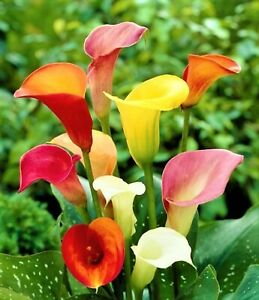 Beautiful Assorted Calla Lily Seeds 80 Seeds BUY 4 ITEMS FREE SHIPPING $0.99