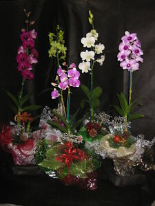 5 Buddedblooming Dendrobium Orchids with Christmas decor- XMAS GIFT OF ALOHA!