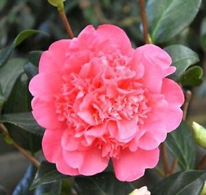 5 Fresh Cuttings of Camellia Anticipation Flowering Shrubs