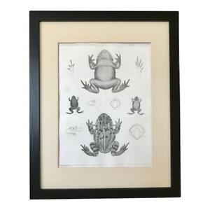 Original 19th Century  Antique Lithograph of Frogs  c.1850 U.S.P.R.R. Exp. $145.00
