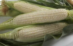 Trucker's Favorite White Corn Seed - Dent Field Garden Maize Seeds (½oz to 8oz)