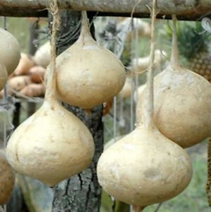 Jicama Seeds - Mexican Potato - Sweet Turnip - Yam Bean - Organic Vegetable Seed