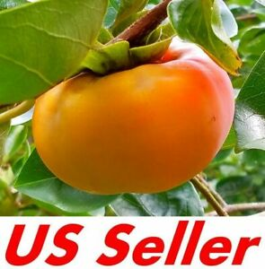 6 Cuttings unrooted of Japanese Persimmon Trees Fuyugak Tasty Fruit Trees