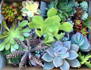 30 ASSORTED SUCCULENT CUTTINGS ASSORTED SIZES & VARIETIES FREE SHIP + 8 EXTRAS