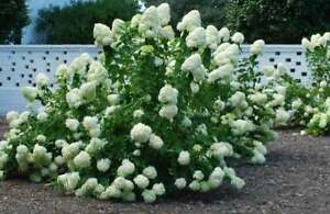 10 White Hydrangea Cuttings Free Shipping Grow Your Own