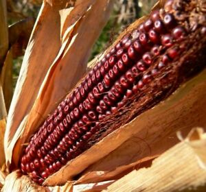Bloody Butcher Corn Seed - Heirloom Red Dent Maize Seeds (1oz to 8oz)