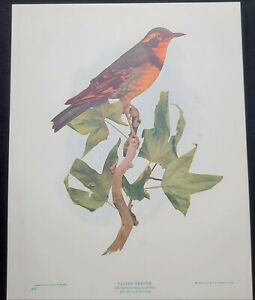 VARIED THRUSH Hesperocichla naevia 1902 Bird Lithograph Antique Print $8.95