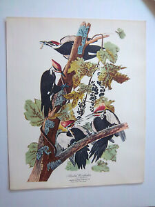 VINTAGE 14 x 17 AUDUBON quot;Pileated Woodpeckerquot; American lithograph print VGC $12.50