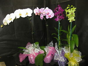 2 PHAL & 2 DENDROBIUM BUDDED OR BLOOMING ORCHIDS- A gift of Aloha!