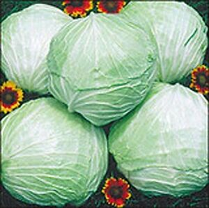 Cabbage Late Flat Dutch Great Heirloom Vegetable BULK 12,000 Seeds Wholesale