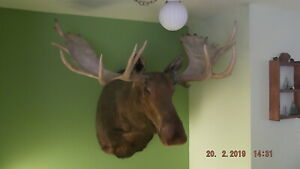 Alaskan Moose Shoulder Mount 65 in in excellent condition taxidermy  lodge decor
