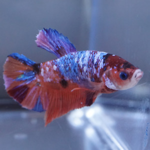 Male Plakat Betta Koi Galaxy MPK108 $35.00