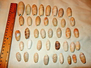 Lot of 40 Assorted OLIVE Seashells Sea Shells Florida Display Beach Aquarium