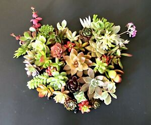 20 2 Beautiful Colorful amp; Healthy Succulent Cuttings 20 Varieties FREE SHIP $19.95