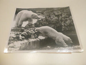 Original ACME photographs Polar bears 1947 Milwaukee