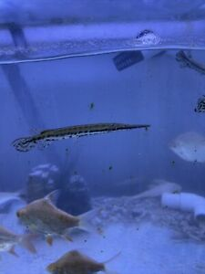 Spotted Florida Gar 5 Inch Live Fish $45.00