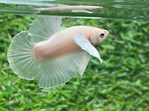 Live Betta Fish Male Fancy Dumbo Betta HMPK Age 4 month From Thailand $10.49